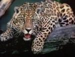 Loro Parque the Jaguar Crater